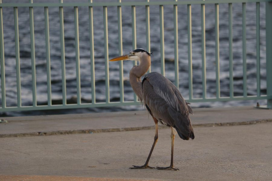 A great blue heron stands to watch locals as they maneuver around remaining hurricane debris.